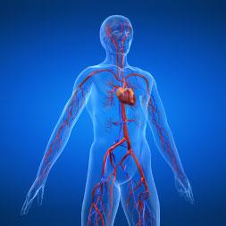 Introduction au système cardiovasculaire