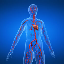 Introdução ao Sistema Cardiovascular
