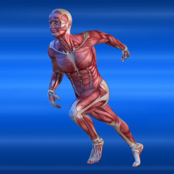 Introduction to the Human Muscular System